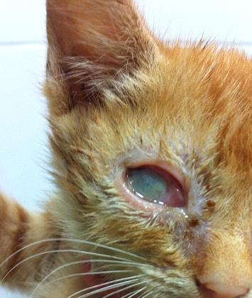 herpesvirus-felino