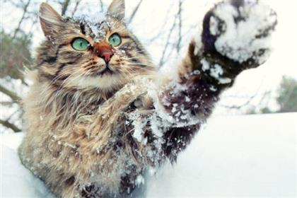 cat-playing-in-snow-shutterstock 145709093.lg