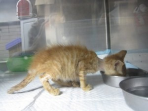 gatito con panleucopenia y deshidratacion