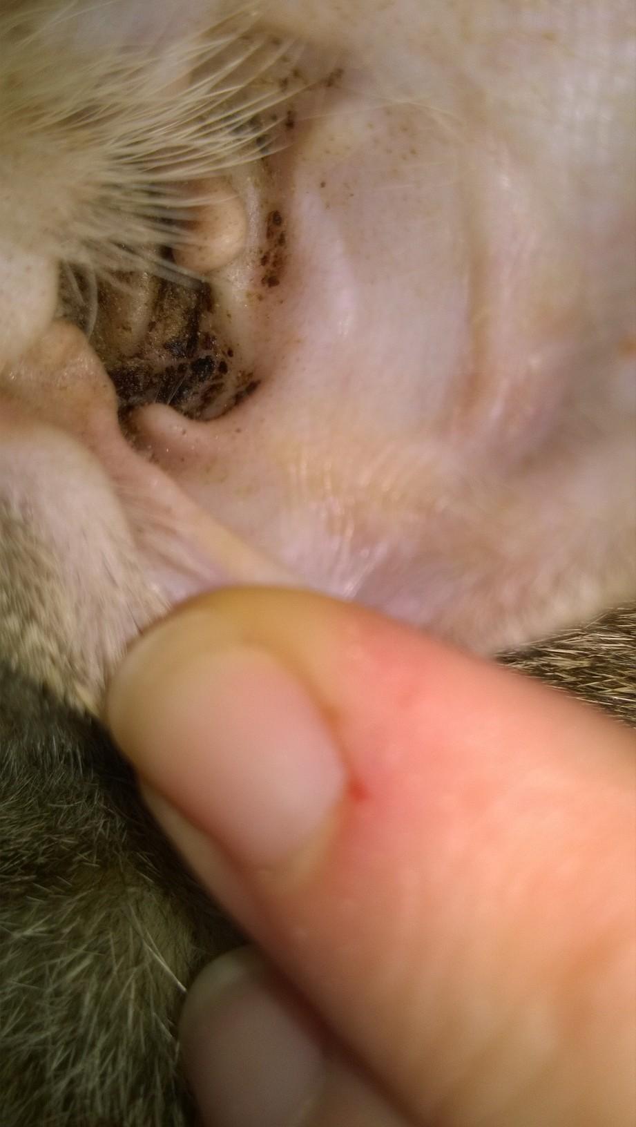 otitis por acaros en gatos
